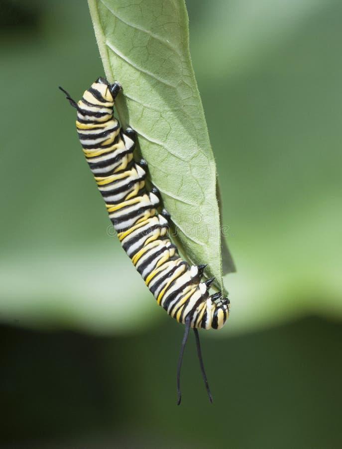 Il monarca Caterpillar che si alimenta il giardino copre di foglie fotografia stock