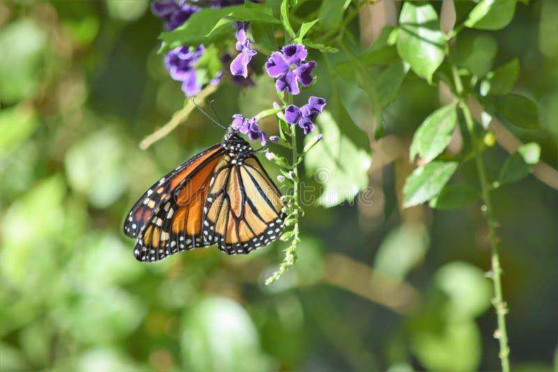 Il monarca Danaus plexippus ama i fiori viola immagini stock libere da diritti