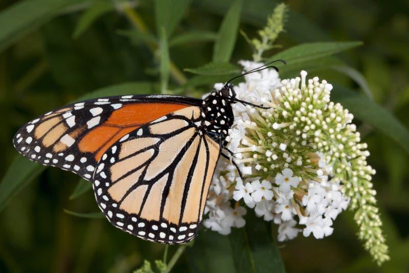 Il monarca sorseggia il nettare dal cespuglio di farfalla fotografia stock libera da diritti