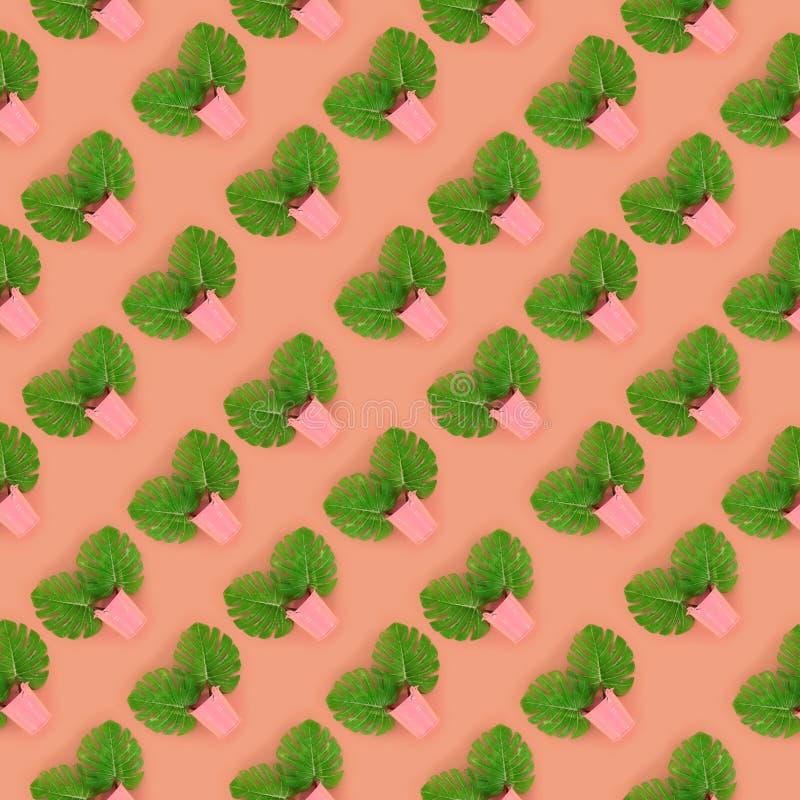 Il monstera tropicale della palma lascia a bugie nei secchi pastelli su un fondo colorato Modello minimo d'avanguardia posto pian fotografia stock