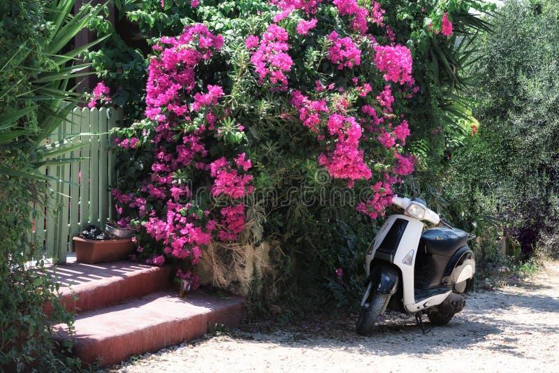 Il motorino della motocicletta è parcheggiato vicino al cespuglio porpora di bougainvelia alla via della città di Rodi sull'isola fotografia stock