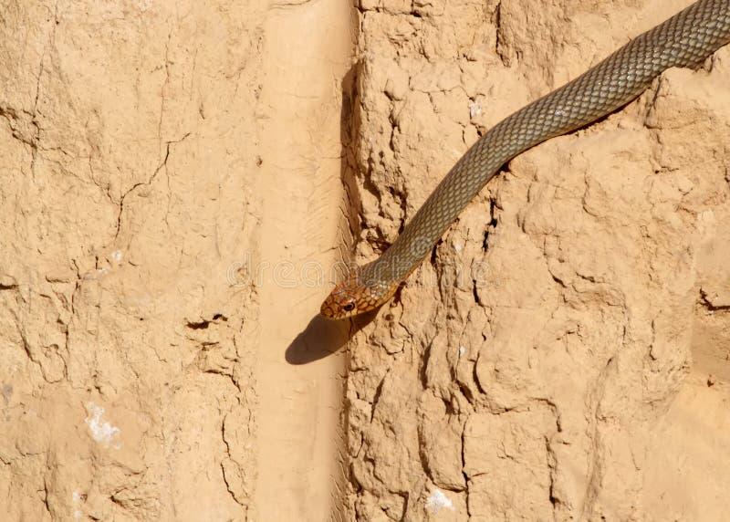 Il movimento strisciante caspico di caspius di Dolichophis del whipsnake lungo l'argilla verticale fotografie stock