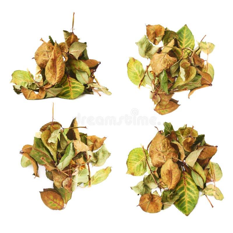 Il mucchio dell'secco di è aumentato foglie come composizione astratta sopra fondo bianco fotografia stock