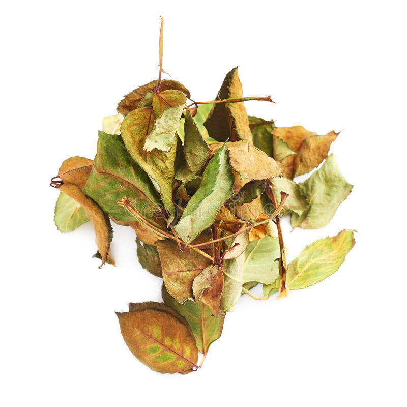 Il mucchio dell'secco di è aumentato foglie come composizione astratta sopra fondo bianco immagine stock libera da diritti