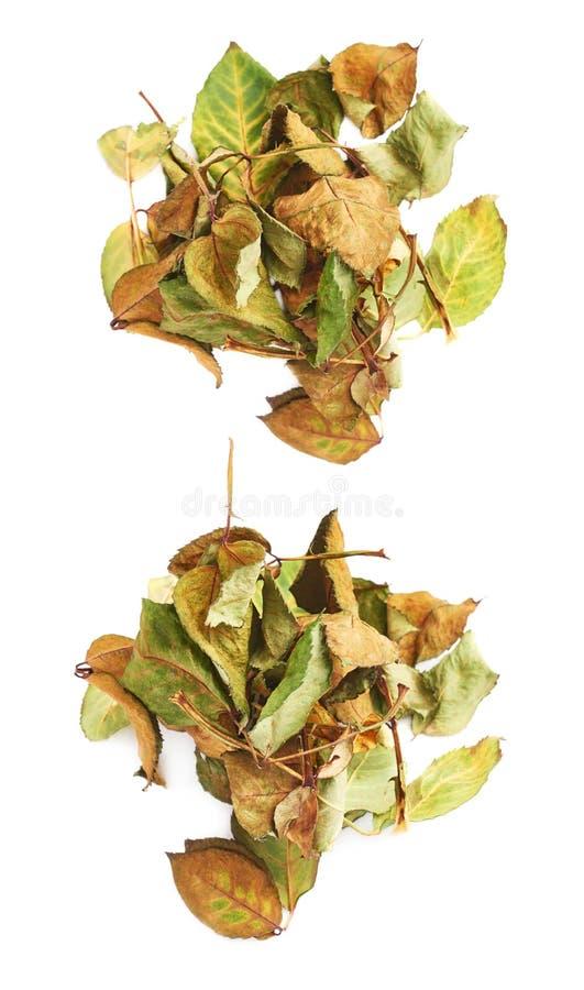 Il mucchio dell'secco di è aumentato foglie come composizione astratta sopra fondo bianco fotografie stock