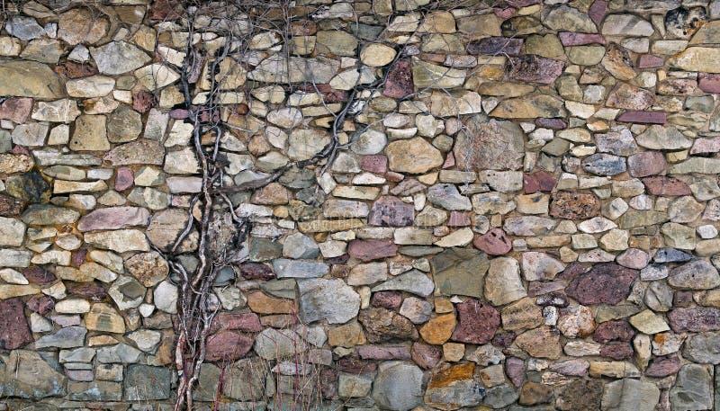 Il multi colore ha impilato la parete di pietra con la vecchia vite fotografia stock