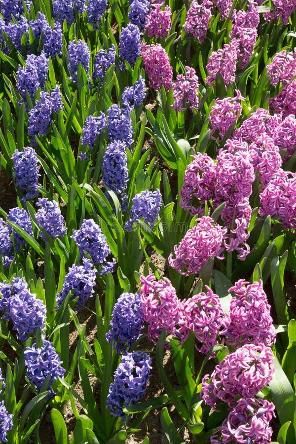 Il Muscari fiorisce nel giardino Keukenhof, Paesi Bassi dell'Olanda immagine stock
