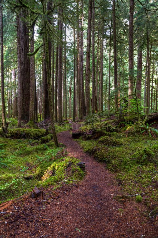 Il muschio alto ha coperto gli alberi di muschio verde-cupo dai lati di una traccia che avvolge avanti e indietro nella distanza  fotografia stock
