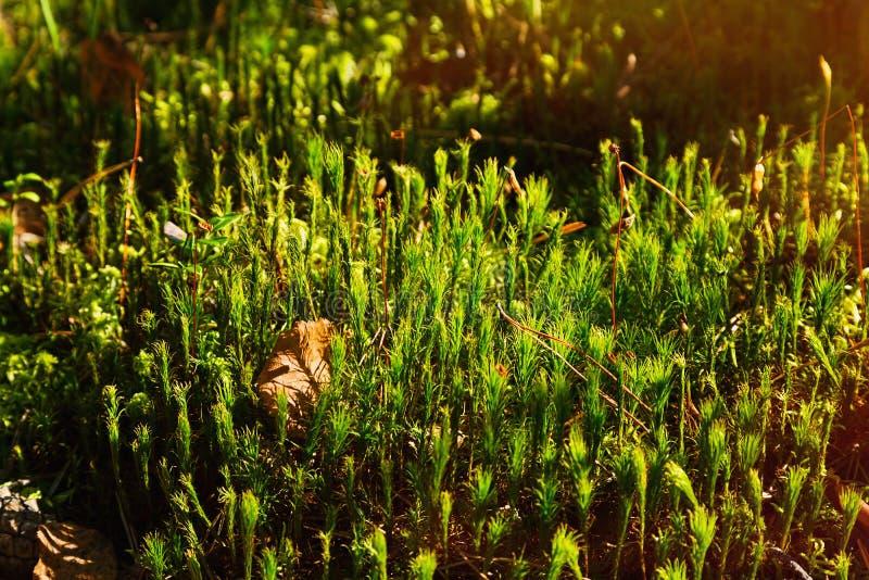 Il muschio in autunno assomiglia ad una foresta minuscola immagini stock