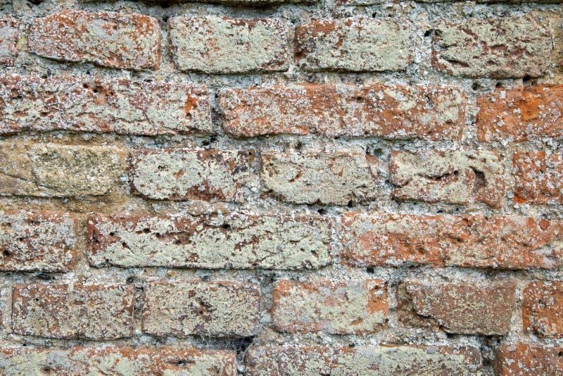Il muschio ed il lichene hanno riguardato la struttura del muro di mattoni immagini stock libere da diritti