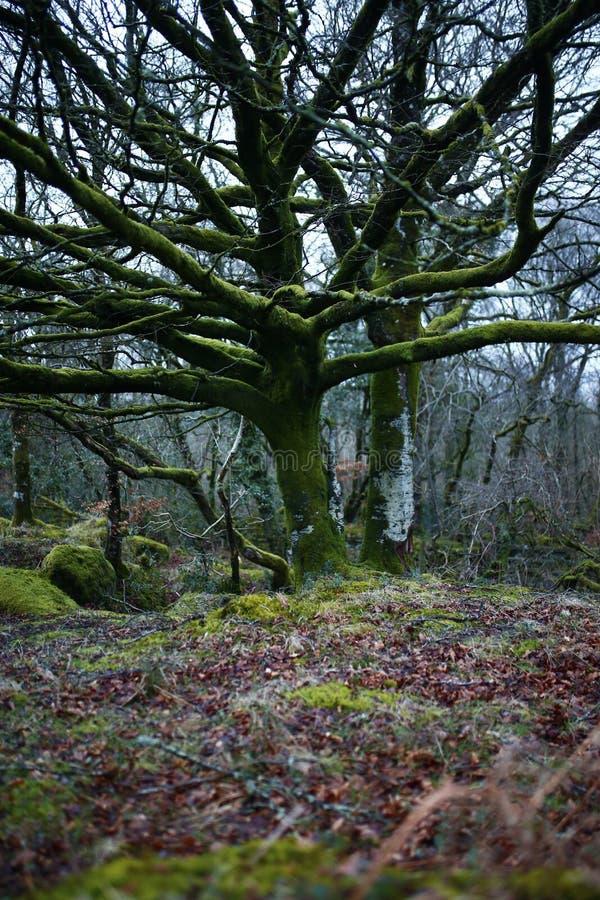 Il muschio ha coperto l'albero di faggio antico fotografia stock