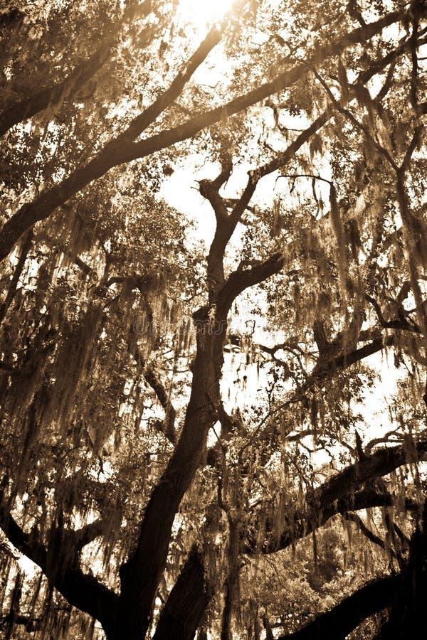 Il muschio ha coperto OakTree fotografie stock libere da diritti