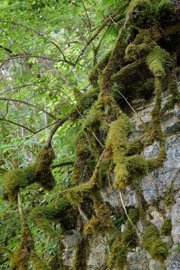 Il muschio ha riguardato le radici dell'albero immagini stock