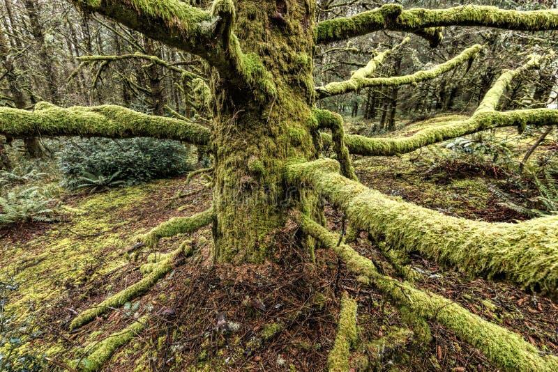 Il muschio lungo ha riguardato i rami nell'Oregon fotografia stock