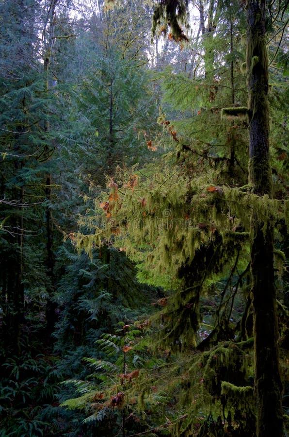 Il muschio pende dai rami di un abete canadese nella foresta immagine stock libera da diritti