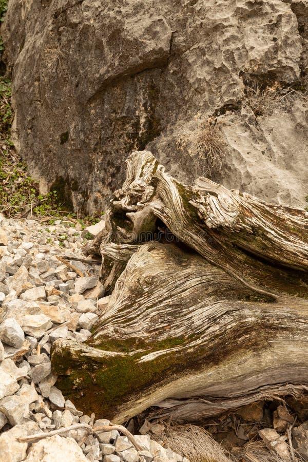 Il muschio si sviluppa su un vecchio ceppo nodoso che si trova su un pendio di calcare scheggiato con un masso e le piccole piant fotografia stock libera da diritti