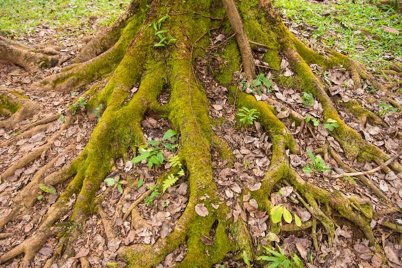 Il muschio verde ha riguardato le radici dell'albero fotografie stock