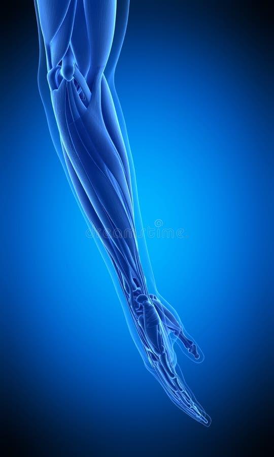 Il muscolo umano del braccio royalty illustrazione gratis