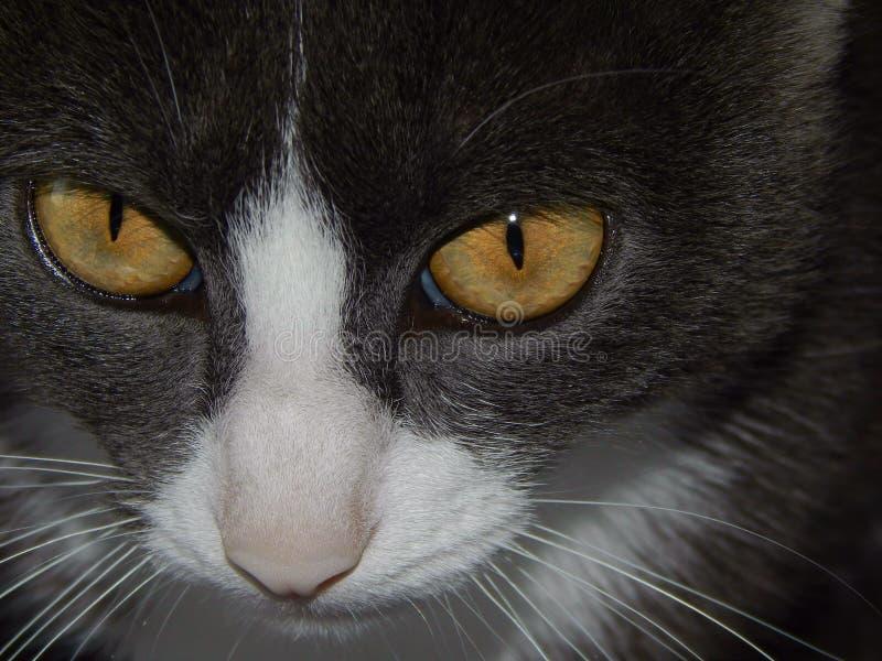 Il muso del gatto con giallo osserva il primo piano fotografia stock libera da diritti