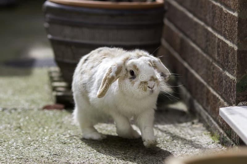 Il nano pota il coniglio eared fotografia stock