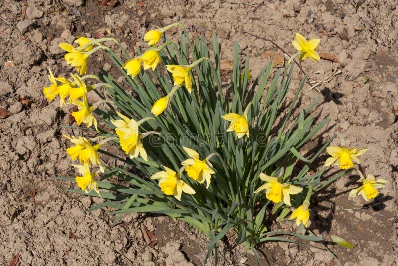 Il narciso fiorisce la foto della molla immagini stock