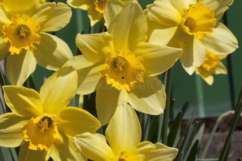 Il narciso fiorisce la foto della molla fotografia stock