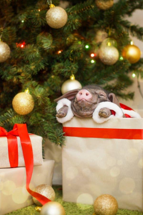 Il Natale e la carta del nuovo anno con il maiale neonato sveglio di Santa in regalo presentano la scatola Simbolo delle decorazi fotografia stock libera da diritti