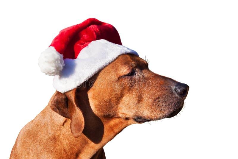 Il Natale insegue i regali aspettanti Cane triste in cappuccio di Natale Posto per il vostro annuncio Isolato su priorità bassa b immagini stock