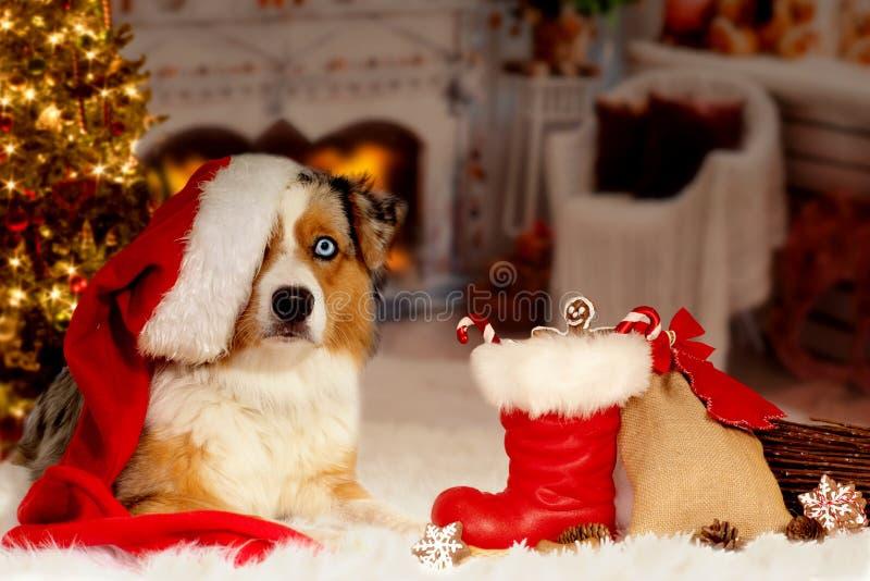 Il Natale, pastore australiano del cane si trova idillico davanti a fotografia stock libera da diritti