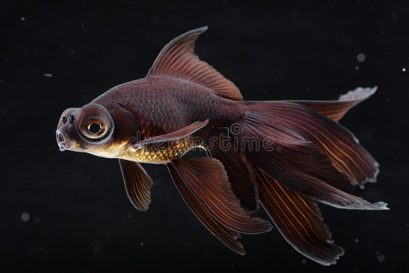 Il nero attracca il goldfish fotografia stock libera da diritti