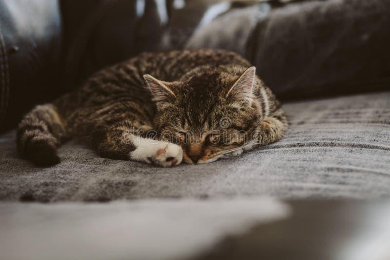 Il Nero Bianco E Brown Tabby Cat Su Grey Padded Chair Dominio Pubblico Gratuito Cc0 Immagine