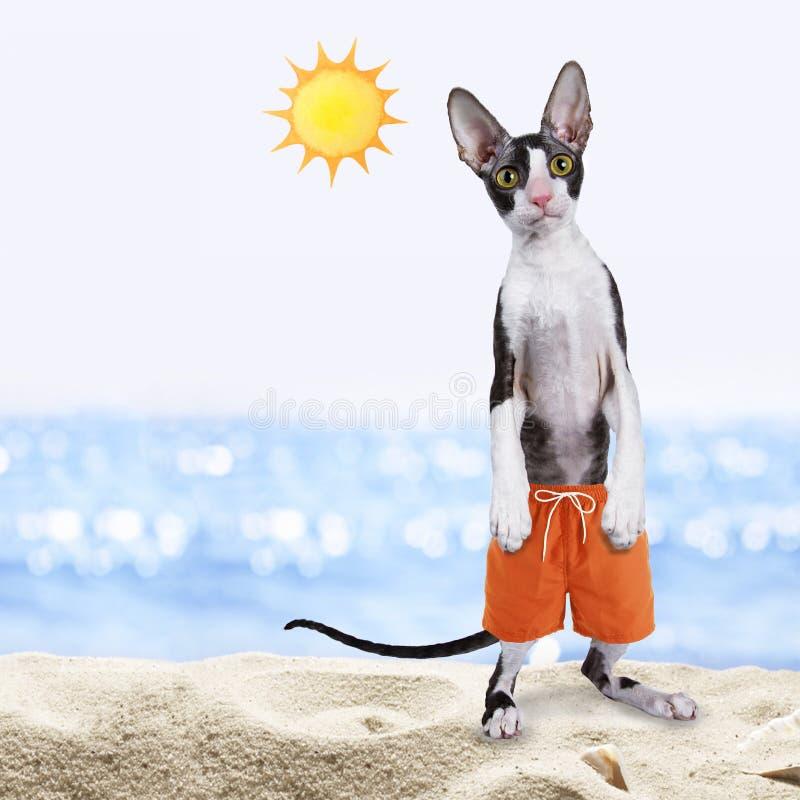 Il nero con il gatto cornovagliese bianco del rex sulla spiaggia fotografia stock libera da diritti