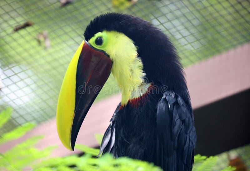 Il nero del tucano e bello uccello di paradiso di Costa Rica del becco giallo fotografie stock libere da diritti