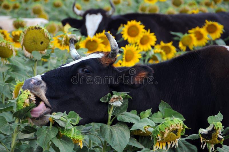 Il nero e mucche di Whire fotografia stock libera da diritti