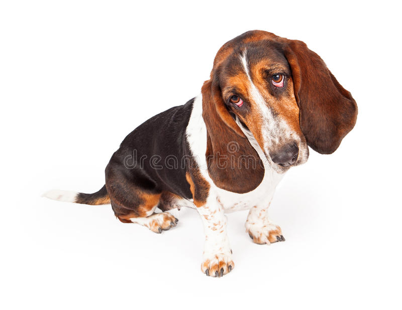 Il nero e Tan Basset Hound Tilting Head fotografia stock