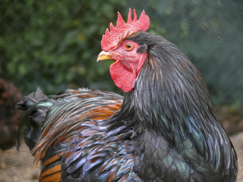 Il nero ha colorato, gallo con un grande pettine rosso, cresta di gallo, in una gabbia, girando, guardare indietro o su fotografia stock libera da diritti