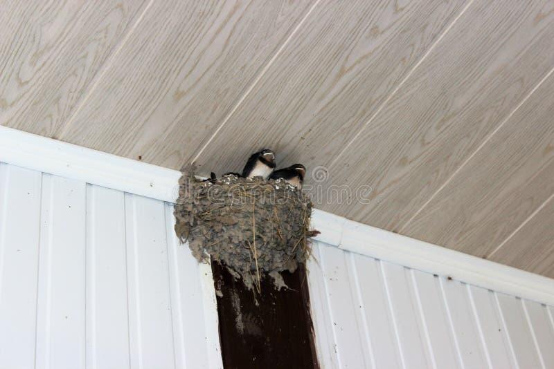 Il nido del sorso, torto sotto un tetto di una veranda immagini stock