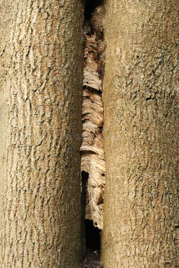 Il nido di un calabrone fra due alberi fotografia stock libera da diritti
