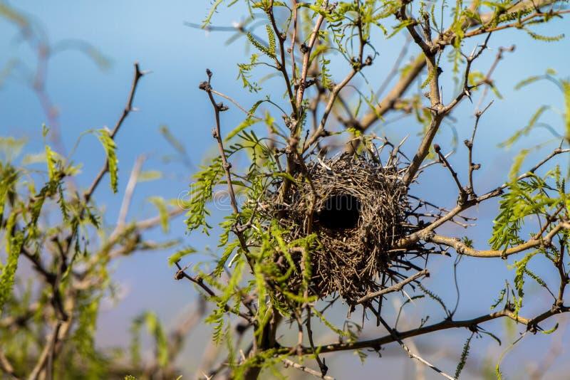 Il nido di uno scricciolo di cactus nei resti del sud dell'Arizona in un albero del mesquite fotografia stock libera da diritti