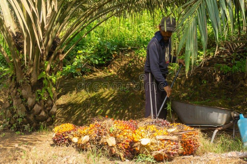 Il nocciolo della palma da olio si è raccolto fotografia stock libera da diritti