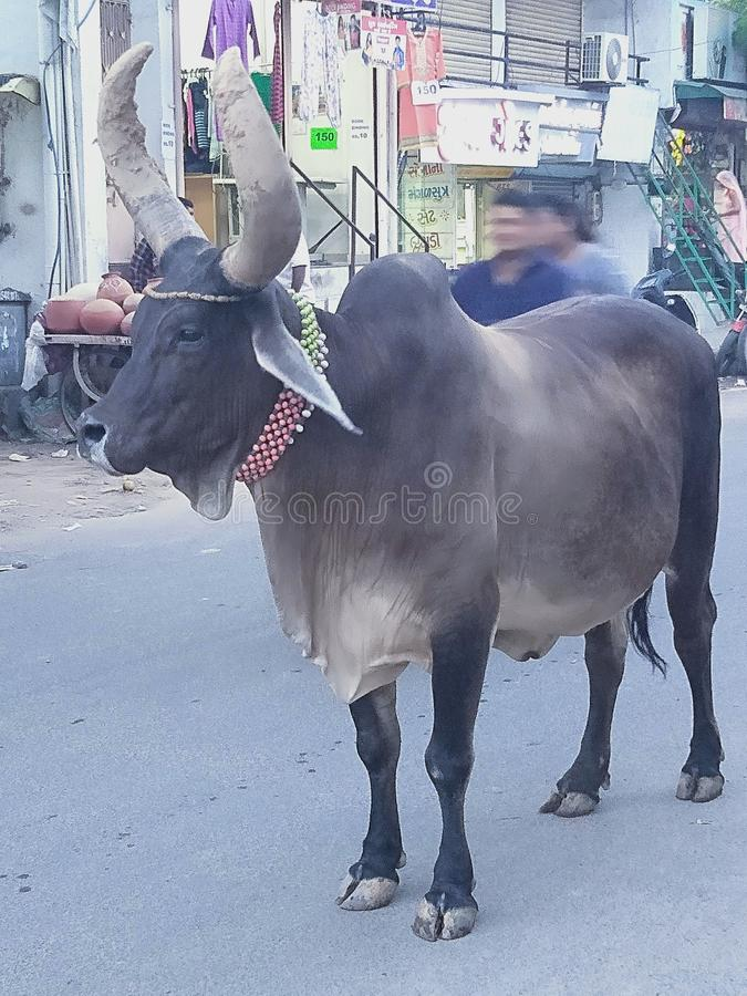 Il nome di questo animale è mucca immagini stock libere da diritti