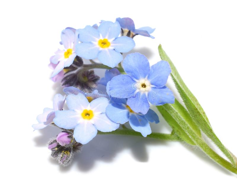 Il nontiscordardime del terreno boscoso ha isolato i fiori blu fotografia stock libera da diritti