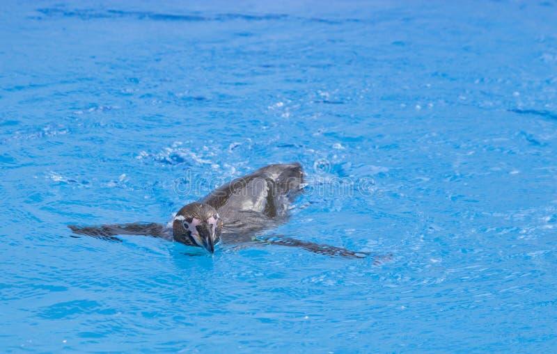 Il nuoto africano di demersus dello Spheniscus del pinguino sotto l'acqua blu immagini stock