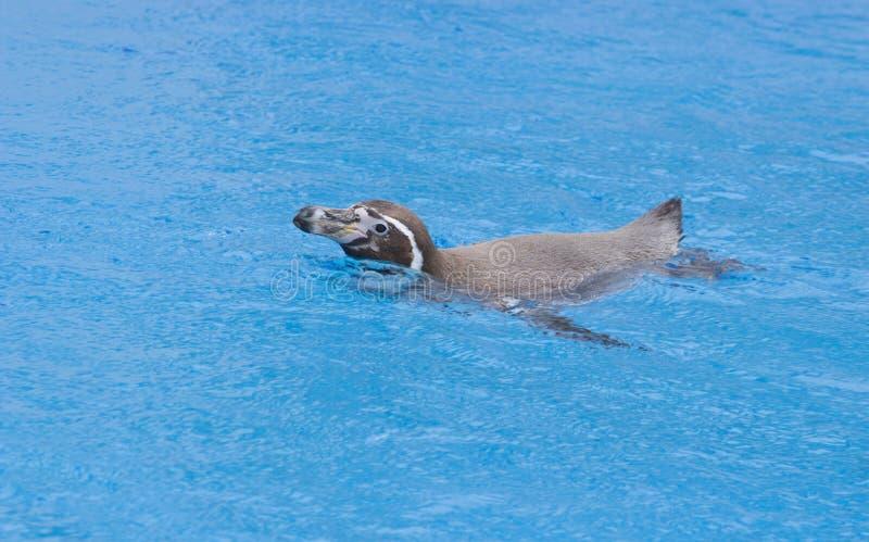 Il nuoto africano di demersus dello Spheniscus del pinguino sotto l'acqua blu fotografie stock libere da diritti