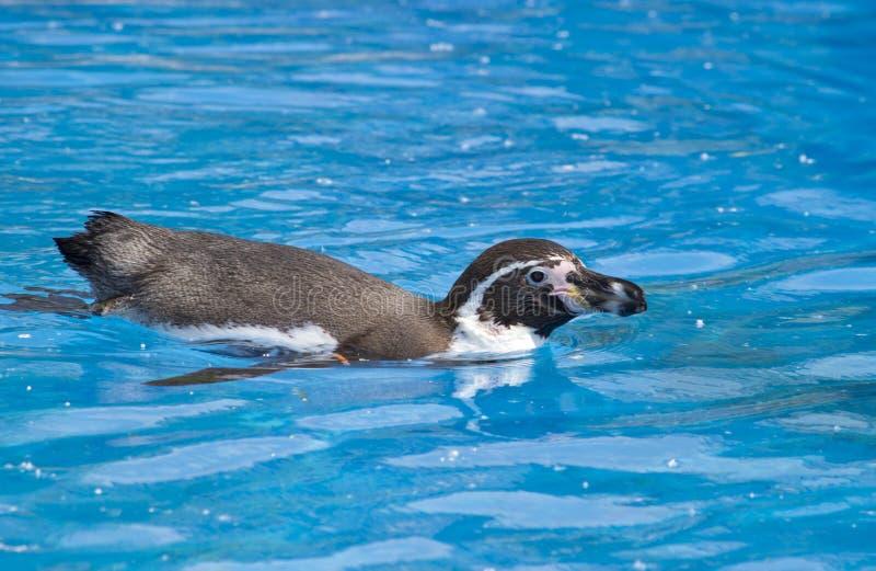 Il nuoto africano di demersus dello Spheniscus del pinguino sotto l'acqua blu fotografie stock