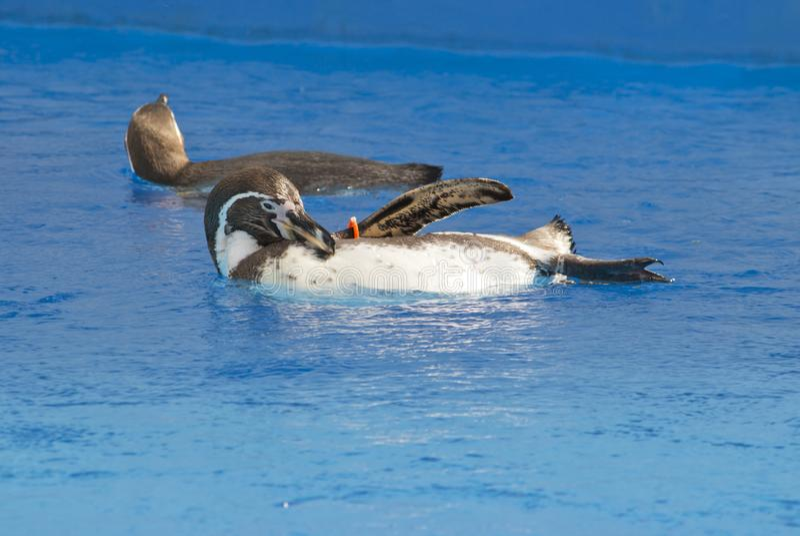Il nuoto africano di demersus dello Spheniscus del pinguino sotto l'acqua blu immagine stock libera da diritti