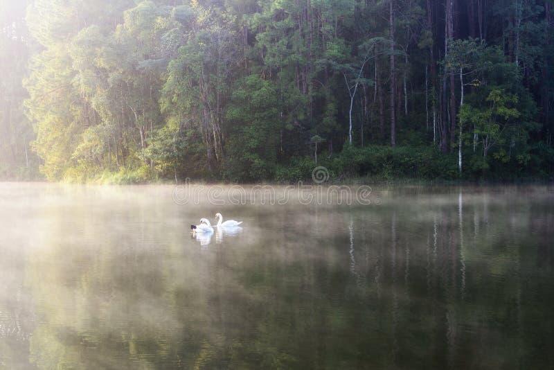 Il nuoto bianco del cigno nel lago fotografie stock libere da diritti