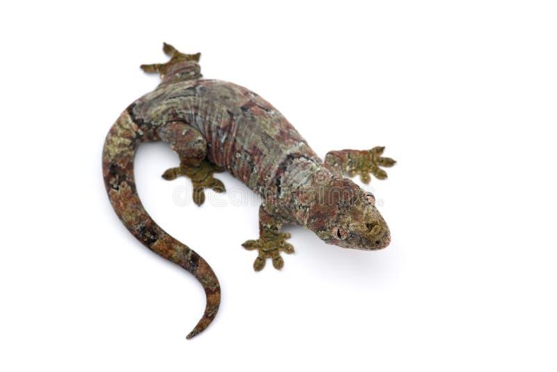 Il nuovo geco caledoniano muscoso isolato su bianco immagini stock