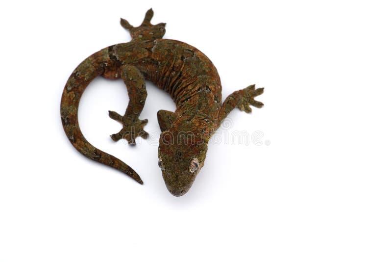 Il nuovo geco caledoniano muscoso isolato su bianco fotografie stock libere da diritti