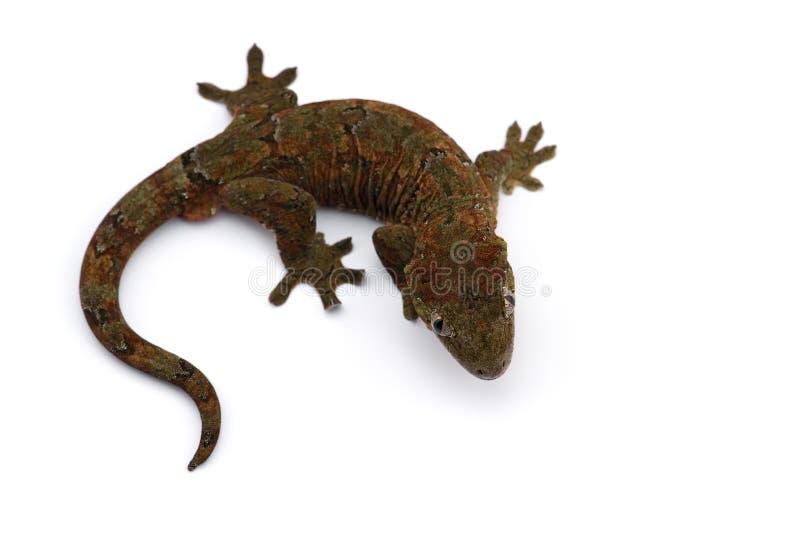 Il nuovo geco caledoniano muscoso isolato su bianco immagine stock